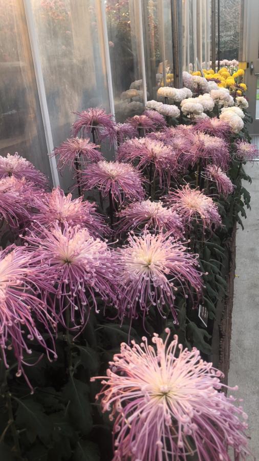 The New York Botanical Gardens Kiku: Spotlight on Tradition