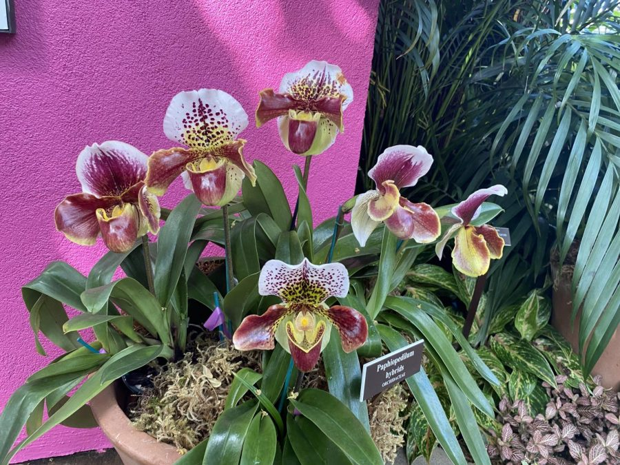 Visit The Orchid Show until April 19, 2020. (Courtesy of Sara Tsugranis for The Fordham Ram)
